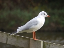 Black Headed Gull at Rufford Abbey