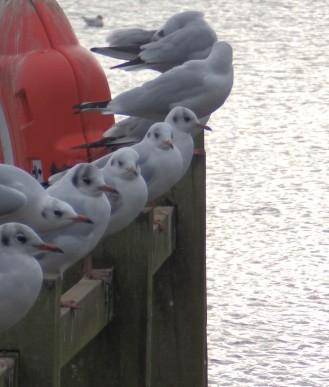 Black Headed Gulls at Rufford Abbey
