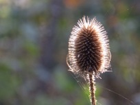 Teasel at Rufford Abbey