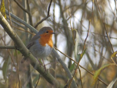 Robin at Rufford Abbey