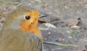 Robin at Rufford Abbey
