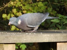 Wood Pigeon at Rufford Abbey