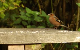 Chaffinch at Rufford Abbey