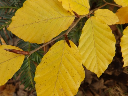 Autumn Beech leaves - Clumber Park