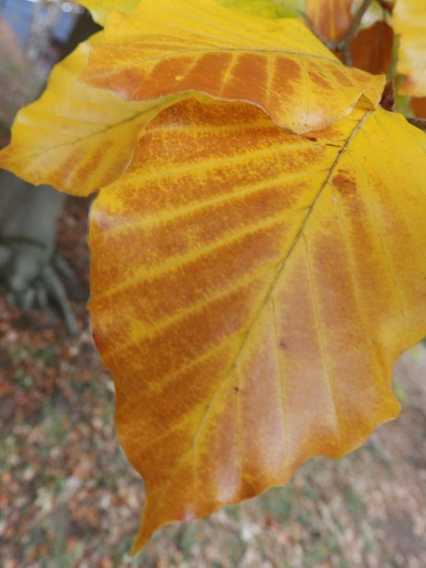 Autumn Beech leaves