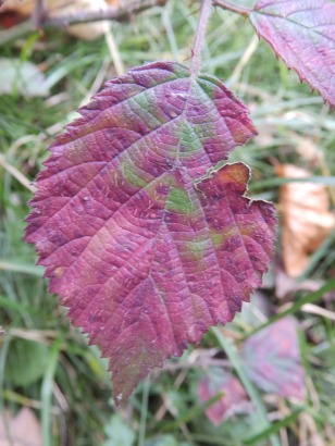 Brambles leaves at Clumber