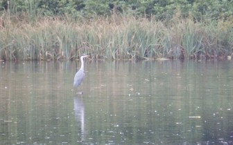 Heron in a pond