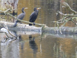 Cormorants at Clumber