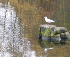 Black-headed gull on tree stump