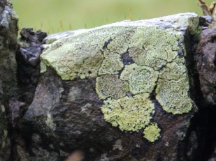 Lichen on Lake District wall