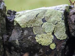 Lichen on Lake District wall