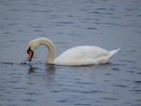 Swan - Windermere