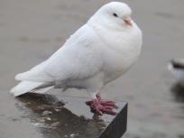 Pigeon - Windermere