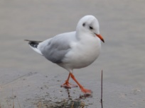 Black Headed Gull - Bowness