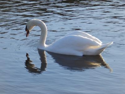 Mute Swan - Rufford Abbey