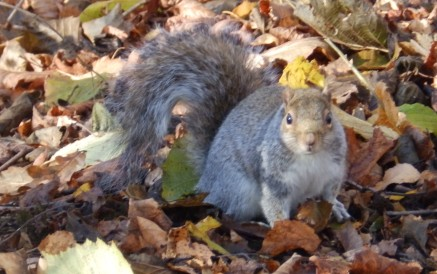 Squirrel at Rufford