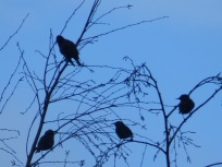 Starlings at Slaidburn