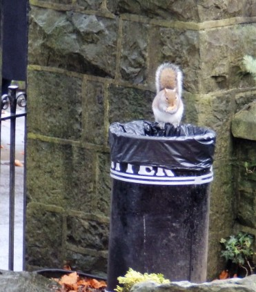 Bin raiding squirrel at Clitheroe Castle.