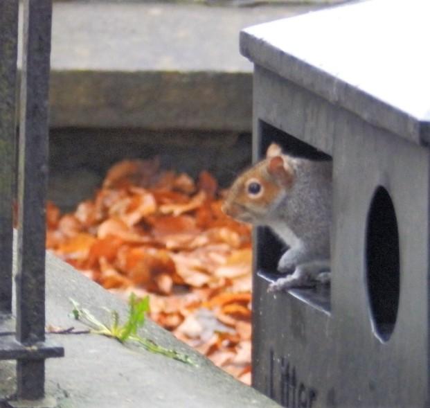 Bin raiding squirrel at Clitheroe Castle.