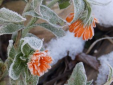Marigolds and frost
