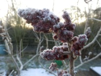 Sumac in the snow