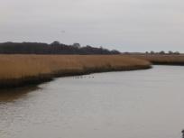 Ducks on the River Alde, Snape