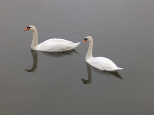 Mute Swans at Budby Flash
