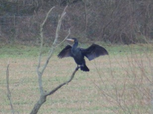 Cormorant at Budby Flash