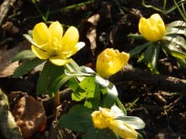 Aconites are out