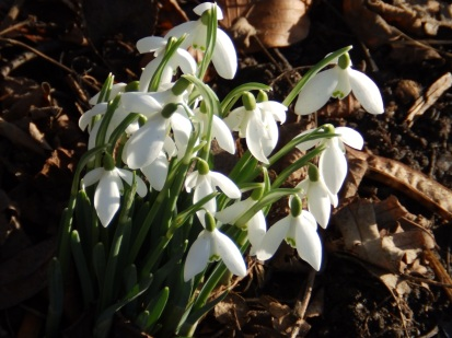 As are the snowdrops