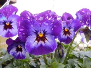 Purple Pansies - Mencap, Wilford