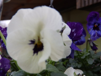 White pansy - Wilford