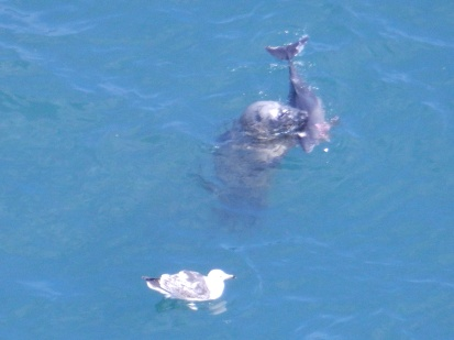 Seal with fish, Bempton, Yorkshire