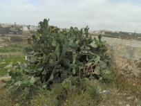 Cactus, Malta