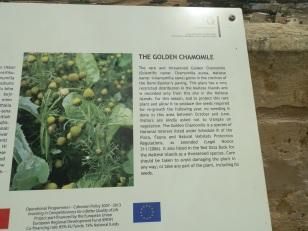 Golden Chamomile - Malta