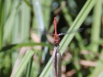 Ruddy Darter, Strumpshaw