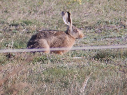Hare on Norfolk saltmarsh
