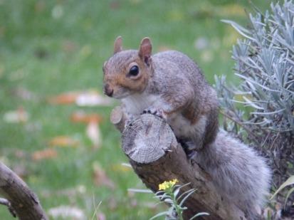 Squirrel in MENCAP gardens, Wilford