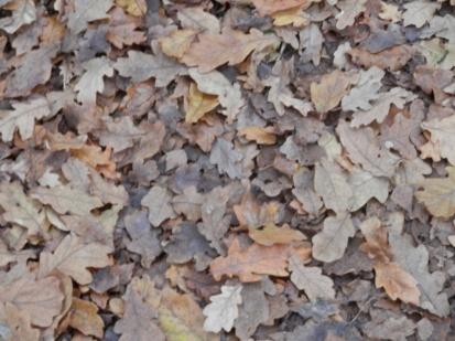 Oak leaves of Sherwood Forest