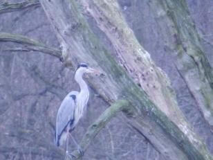 Heron at Clumber Park