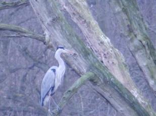 Heron at Clumber