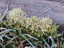 Frosty Moss at Mencap Garden, Wilford