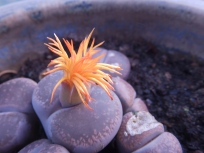 Lithops at Mencap Garden