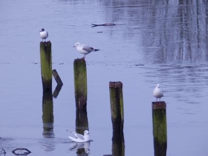 Black-headed Gull, Stoke on Trent