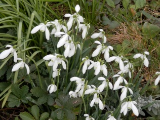 Snowdrops at Ruddington