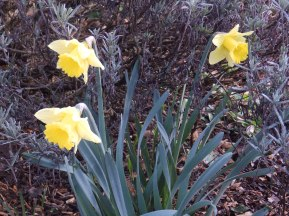 Daffodils in the Mencap Garden