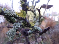 Lichen by the Trent