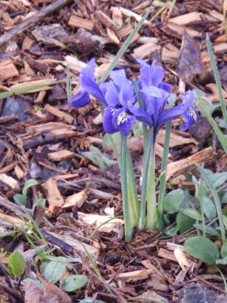 Irises at Wilford