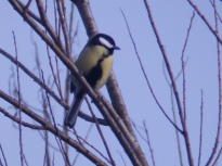 Great Tit at Wilford