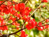 Japanese Quince - Arnot Hill Park
